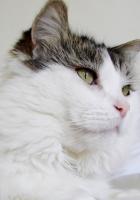 cat, white, gray