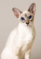 cat, white, sit