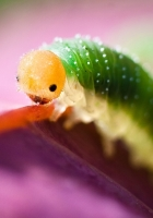 caterpillar, green, purple