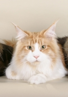 cats, maine coon, three