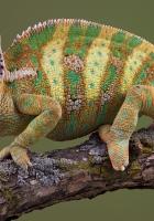 chameleon, crawl, color
