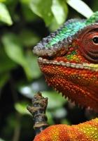 chameleon, eyes, grass