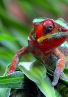 chameleon, lizard, spotted