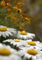chamomile, field, grass