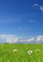 chamomile, field, sky
