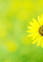 chamomile, flower, meadow