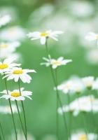 chamomile, flowers, greens