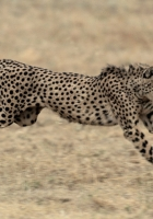 cheetah, big cat, jump