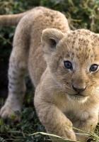 cheetah, cub, face