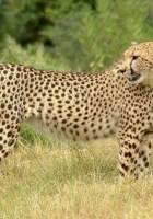 cheetah, grass, walk
