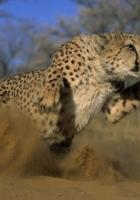 cheetah, jump, run