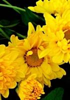 chrysanthemum, bouquet, yellow