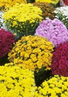 chrysanthemum, flower, flowers