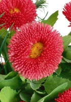 chrysanthemum, flowers, basket