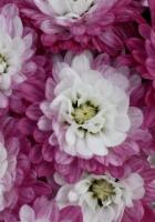 chrysanthemums, bi-color, petals