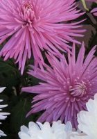 chrysanthemums, flowers, different
