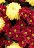 chrysanthemums, flowers, yellow
