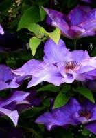 clematis, purple, leaves
