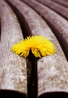 close-up, timber, dandelion