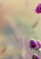 clover, flowers, blur