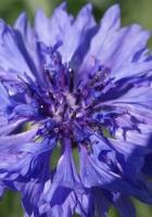 cornflower, flower, sunny