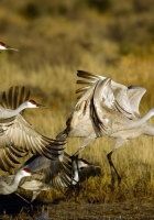 cranes, flock, flying