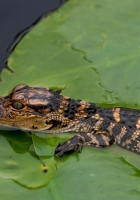 crocodile, cub, leaves