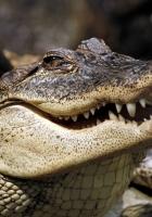 crocodile, muzzle, dangerous