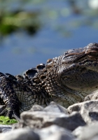 crocodile, reptile, crawl