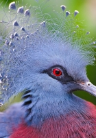 crowned pigeon, feathers, beautiful