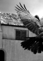 crows, bird, flying