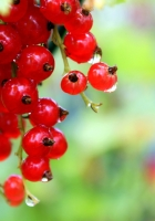 currants, red, ripe