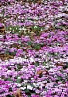cyclamen, flowers, meadow