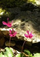 cyclamen, leaves, stones