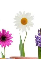 daffodil, daisy, hyacinth