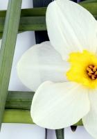 daffodil, flower, stem