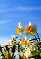 daffodils, flowerbed, sky