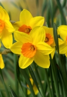 daffodils, flowers, bright