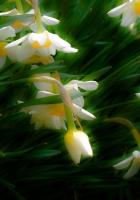daffodils, flowers, herbs