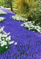 daffodils, muscari, road