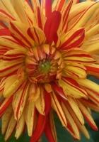 dahlia, flower, two-color