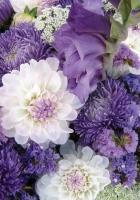 dahlias, chrysanthemums, flowers