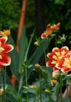 dahlias, flowerbed, flower buds
