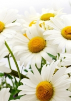 daisies, flower, flowers