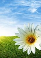 daisies, flowers, field