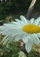 daisies, flowers, nature