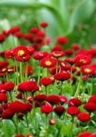 daisies, herbs, flowers