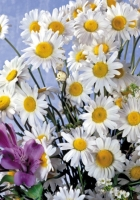 daisies, lilies, flowers
