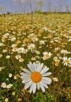 daisies, meadow, sky