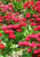 daisy, flower, flowerbed